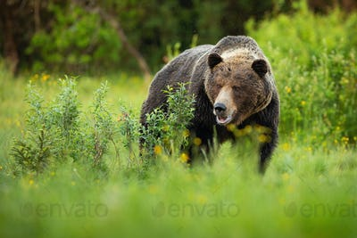 Dominant brown bear male standing on a green meadow with bushes with open mouth