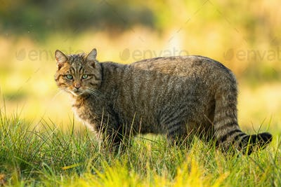 European wildcat standing on grassy meadow and looking into camera in summer