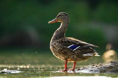 Alert mallard hen standing on a bough in water sunlit by evening sun in summer