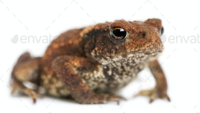 Young Common toad, bufo bufo, in front of white background