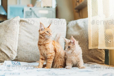 Two Funny Curious Young Red Ginger Maine Coon Kittens Cats Sitting At Home Sofa. Coon Cat, Maine Cat