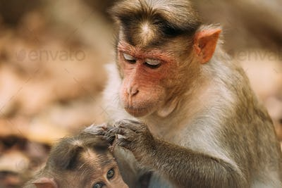 Goa, India. Bonnet Macaque - Macaca Radiata Or Zati Is Looking For Fleas On Its Cub. Close Up