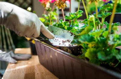 Putting soil into the pot, balcony gardening at spring