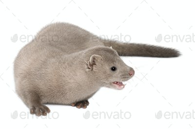 American Mink, Neovison Vison, 3 months old, in front of white background