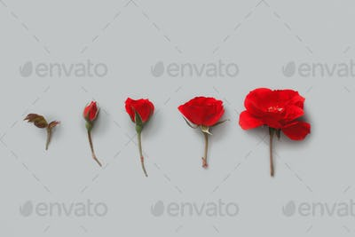 Five Red Roses on a grey background