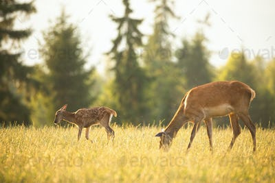 Young spotted red deer fawn and hind grazing on meadow in summer at sunset