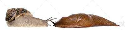 Garden snail and Red slug, Arion rufus, in front of white background