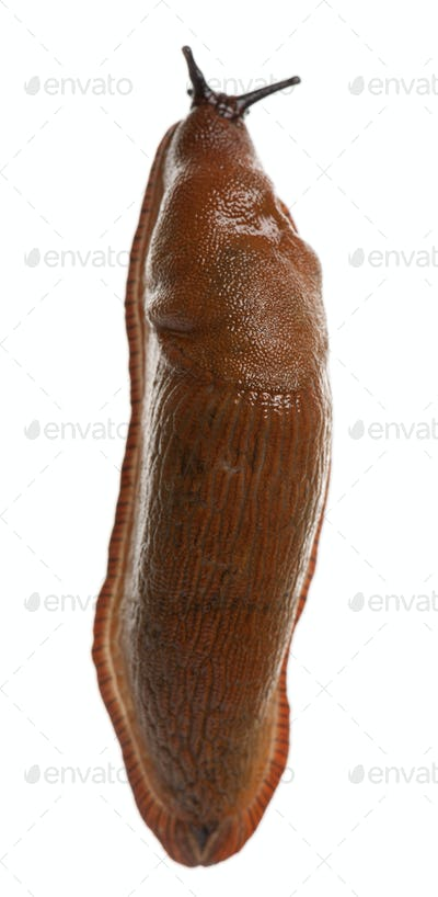 Red slug, Arion rufus, in front of white background