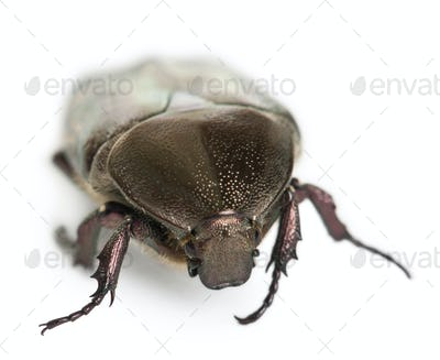 Protaetia fieberi specie of Beetle, Cetoniidae, in front of white background