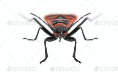 Firebug, Pyrrhocoris apterus, in front of white background