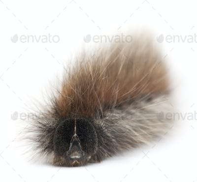 Caterpillar of Grass Eggar, is a moth, Lasiocampa trifolii, in front of white background