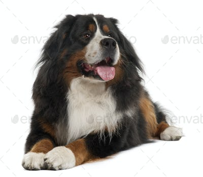 Bernese Mountain Dog, 3 years old, lying in front of white background
