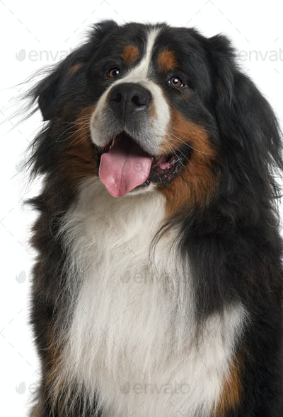 Bernese Mountain Dog, 3 years old, sitting in front of white background