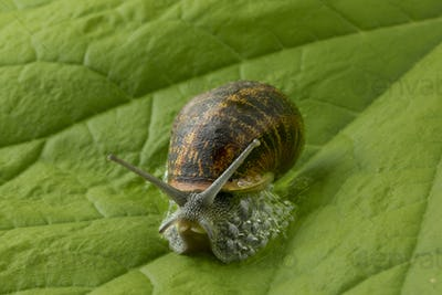 Land snail at a green leaf