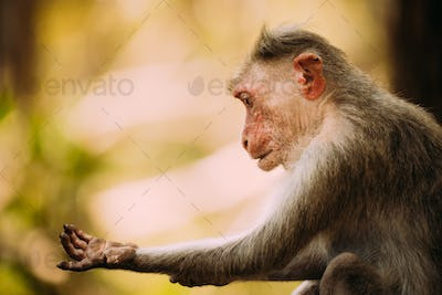 Goa, India. Old Bonnet Macaque - Macaca Radiata Or Zati Is Looking For Fleas. Close Up