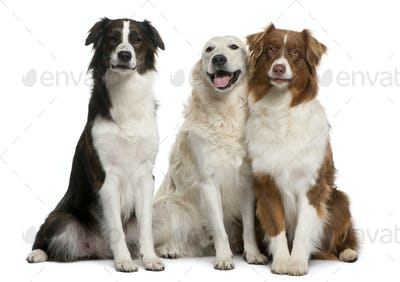 Group of three mixed-breed dogs in front of white background