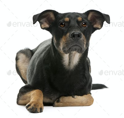 Mixed-breed dog, 12 months old, lying in front of white background