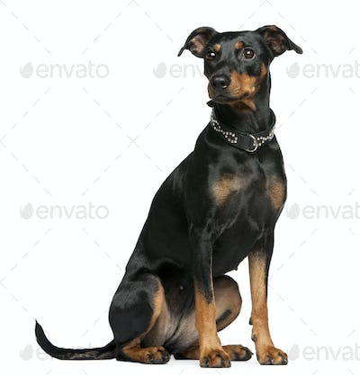 German pinscher, 2 years old, sitting in front of white background
