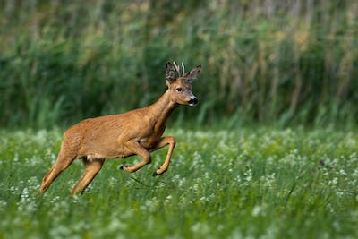 Roe deer buck running fast on meadow with green grass and flowers in summer