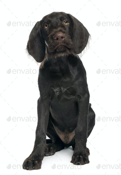 German shorthaired pointer puppy, 3 months old, sitting in front of white background
