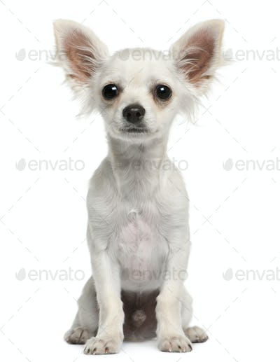 Chihuahua puppy, 4 months old, sitting in front of white background