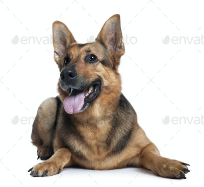 German shepherd dog, 10 years old, lying in front of white background