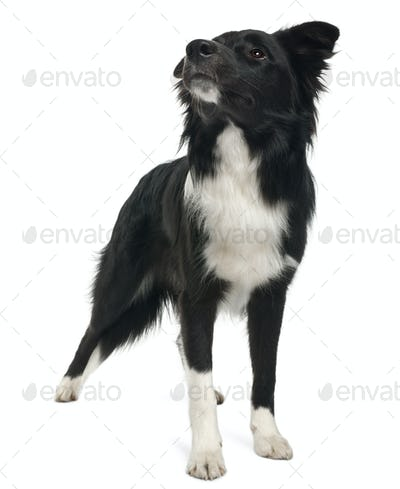 Border collie, 8 months old, standing in front of white background
