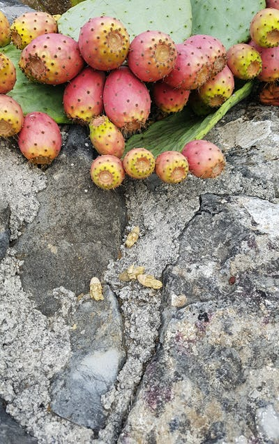 Prickly pear plants an old stone wall