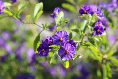 Branch with beautiful purple flowers