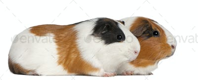 Guinea pigs, 3 years old, lying in front of white background