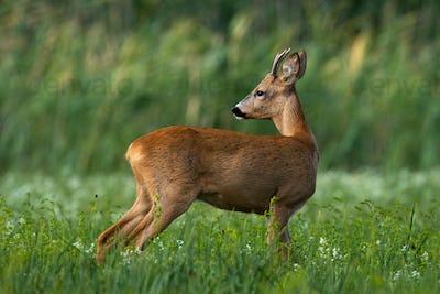 Elegant roe deer buck looking back over shoulder on green meadow in summer