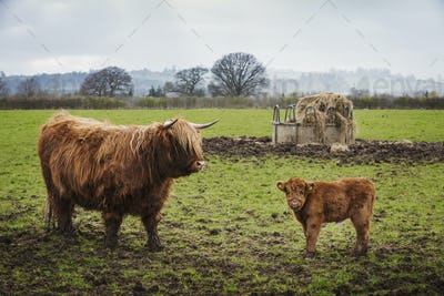 A highland cow and calf in a field by a hay feed holder.