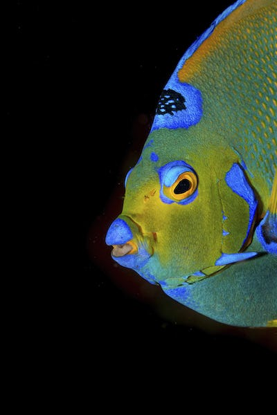 Close-up of a Queen angelfish, one of the most colorful reef dwellers in the Atlantic