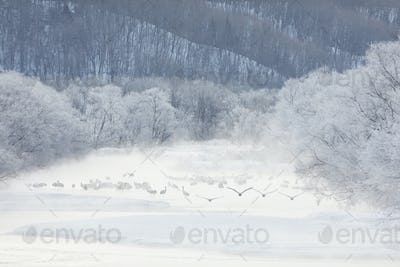 Flock of Red-Crowned Cranes (Grus japonensis) in woodland in winter.