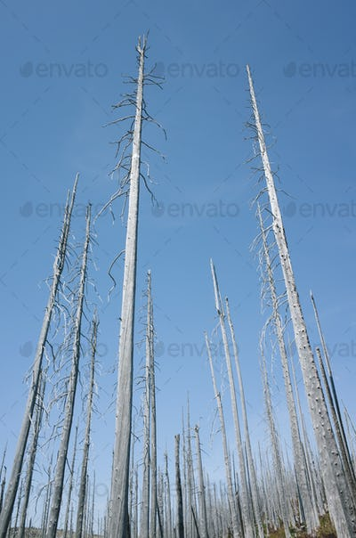 Fire damaged trees in the forest of the Norse Peak Fire, near Mount Rainier National Park,