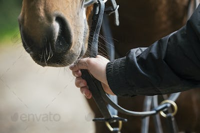 Close up of a human hand holding a brown horse by the bridle.