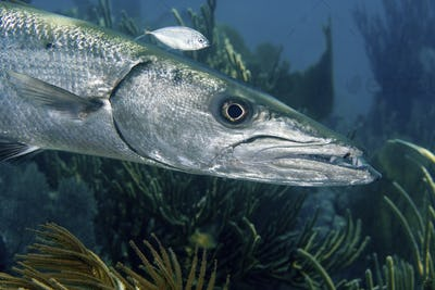 Close-up of a ferocious looking Great barracuda, Sphyraena barracuda, Key Largo