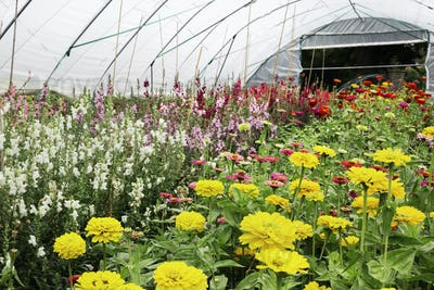 A polytunnel full of flowers, flowering for cutting. An organic flower garden.