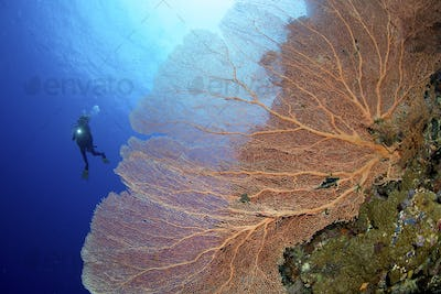 Silhouette of a scuba diver swimming past a coral wall, with a large delicate gorgonian sea fan.