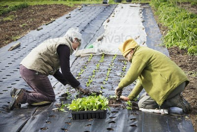 Two people kneeling planting out small plug plant seedlings in the soil,