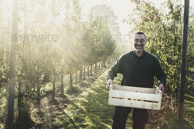 Smiling man standing in apple orchard, holding crate with apples, looking at camera. Apple harvest