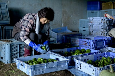 Woman with black hair wearing checkered shirt sitting on blue plastic crate, sorting freshly picked