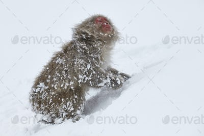 Japanese Macaque (Macaca fuscata) in the winter snow.