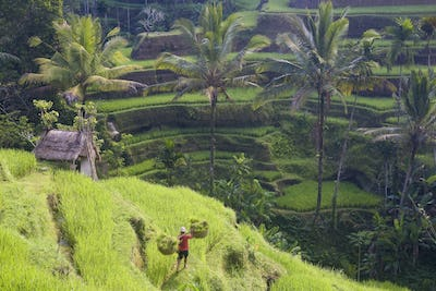 High angle view of terraced rice fields, man walking down path, carrying baskets on his shoulders.