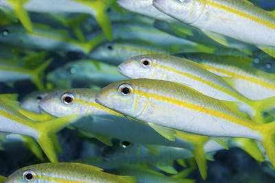 Schooling goatfish (Mulloidichthys martinicus). Image taken in the Florida Keys National Marine
