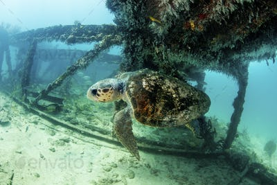 Loggerhead turtle (Caretta caretta) swimming above the seabed through the structure of a wrecked