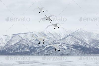 Whooper Swan (Cygnus cygnus) mid-air in winter.