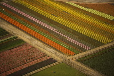 Tulips in bloom create a colourful pattern in the fields of Skagit Valley, Washington, seen from the