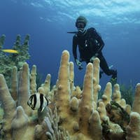 A diver looking at an angelfish swimming by Pillar coral.