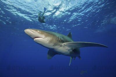 Divers snorkeling with the powerful predator, Oceanic Whitetip Shark, Carcharhinus longimanus